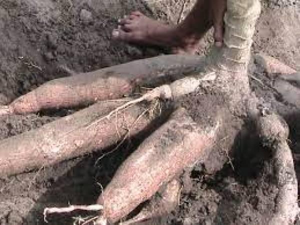 Varietas Unggul Singkong Gajah, Beratnya Mencapai 50 Kilogram Per Pohon